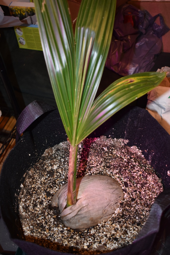 sprouted coconut palm about 1 foot high