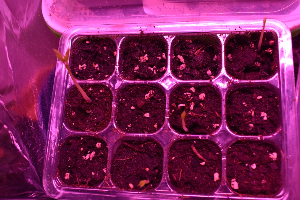 12-cell planting tray with 4 trays showing new moringa sprouts