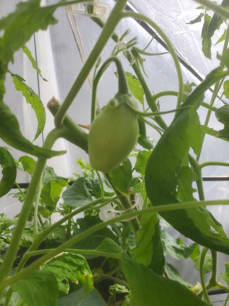 green Roma tomato about egg-sized
