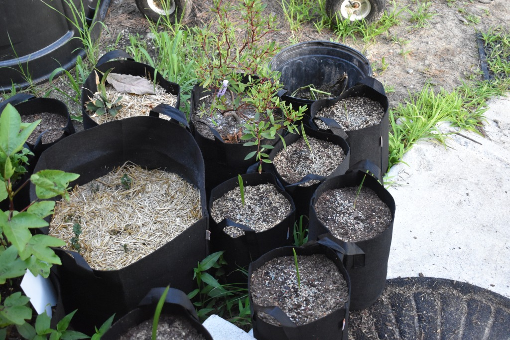 Six planter bags with the single-leafed shoots of new date trees.